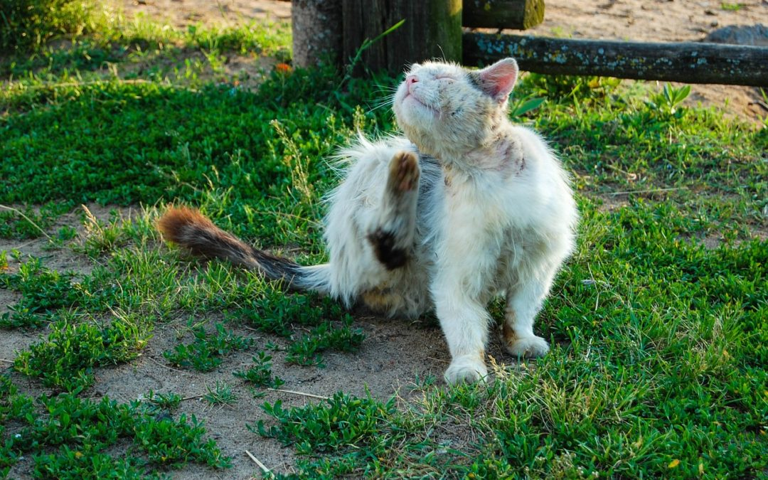 cat - controlling fleas infested